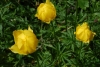 Botton d'Or - Trollius europaeus L.
